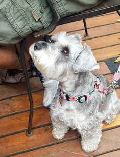 Amy, mini shnauzer! Mini Schnauzer Puppies, Miniature Schnauzer, Mini Shnauzer, Smartest Dogs, Poor Dog, Cute Dogs Breeds, Nature Animals, Dog Friends, Puppy Love