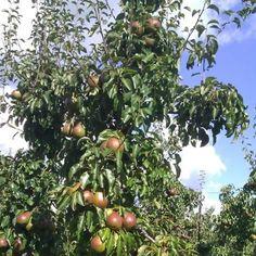 Boerenfluitjes: UITJES :Appels plukken bij Landwinkel de Fruitwaard in Jaarsveld september 2012