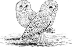 Hard Coloring Pages for Adults | Burrowing Owl coloring page | Super Coloring