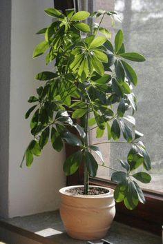 Schefflera arboricola, paraplyplante
