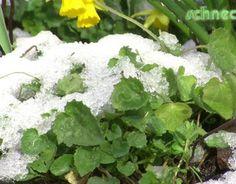 Hängeplster-Glockenblumen sind frosthart und erfreuen im Winter mit ihrem grünen Laub