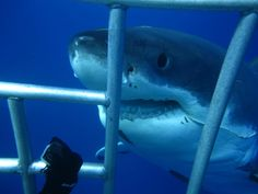 The Origin and Development of Cage Diving with White Sharks: Part 1