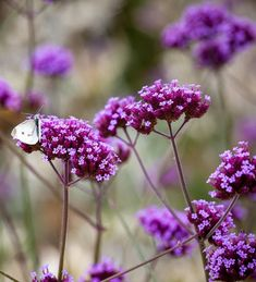 Buy Verbena bonariensis from Sarah Raven: A haze of purple flowers at head height from late summer to autumn. Small Purple Flowers, Cut Flowers, Wild Flowers, Garden Border Plants, Garden Borders, Garden Paths, Summer Flowers To Plant, Planting Flowers, Growing Seeds