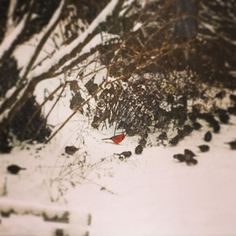 There he is. Mr Cardinal in the snow.  Beautiful creatures.