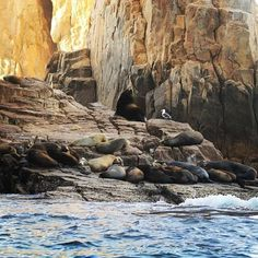 """Master Sea Lion """"Pancho"""" with his mating call in front of The Arch. #visitloscabos #loscabos #cabo #marinelife #b... pic.twitter.com/MbtPAfvvGt"""