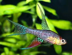 Terranatos dolichopterus, the saberfin killifish.  Pretty little fellow.