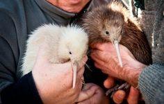 kiwi babbus