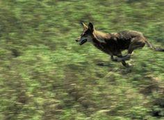 In beeld: wolven in het wild - KnackWeekend.be //De rode wolf jaagt enkel in een groep wanneer ze een grote prooi zoals een hert willen vangen. Meestal probeert hij in z'n eentje kleinere dieren zoals vogels en konijnen te vangen.