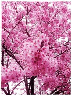 Cherry blossoms (sakura), in Japan.