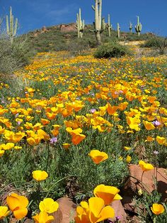 Almost time for the yellow poppies to bloom. Spring in the Sonoran Desert