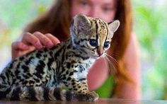 Ocelot kitten (oooh what big eyes you have....)