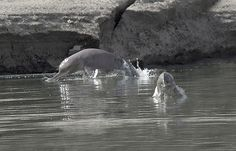 The Indus River dolphin, <i>Platanista gangetica minor</i>, has seen its range dramatically decline thanks to dams and irrigation projects, new research suggests.