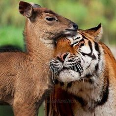 unlikely animal friends - Bing images Nature Animals, Animals And Pets, Baby Animals, Funny Animals, Cute Animals, Wild Animals, Artic Animals, Jungle Animals, Woodland Animals