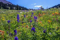 Wildflowers along road to Engineer Pass near Ouray, Colorado.  See more at http://www.backroadswest.com/blog/san-juan-mountains-wildflower-bloom/