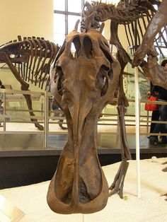 Edmontosaurus annectens (Maastrichtian Age, Laramidia) at American Museum of Natural History, New York