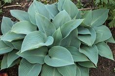 Hosta tardiana `Halcyon` neutraal in de blauw/ paarse border.