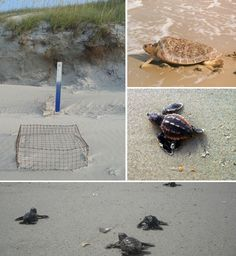 It's a Banner Year for Sea Turtle Nesting in North Carolina Sea Turtle Nest, Turtle Love, Sea Turtles, North Carolina Coast, My Settings, Sweet T, Early Readers, Beach Camping, The Dunes