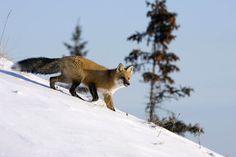 Pora na lisa Polowanie na rudzielce dostarcza zawsze wielkich emocji. To ostatni prawdziwy drapieżnik, na którego możemy – i musimy – polować. Jeżeli uda nam się go przechytrzyć, zdobędziemy fantastyczne trofeum. Przed nami dwa miesiące, na które wielu myśliwych czeka cały rok.