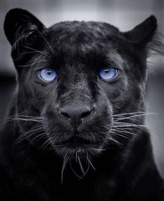 Winter Photography, Wildlife Photography, Animal Photography, Black Panther, Big Cats, Lions, Cats Of Instagram, Puppies, Eyes