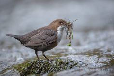 White-throated dipper by natureimmortal. Please Like http://fb.me/go4photos and Follow @go4fotos Thank You. :-)