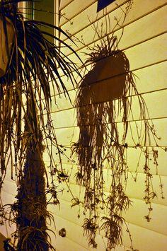 plant shadows //Manbo