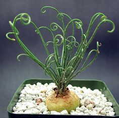 Albuca Namaquensis Succulent Bulb with Curly Q Leaves