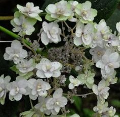 HydrangeainvolucrataYarakuTa Hydrangea involucrata est un franc-tireur parmi les hortensias, hydrangea naine (80-90cm) fleurs avec le bouton de pivoines, il fleurissent sur le bois de l'année et ressemblent un peu à des Hydrangea aspera mais alors en forme miniature . Ils ont une floraison assez longue et se plaient bien dans l'ombre et mi-ombre.