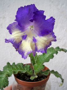 Streptocarpus Nona (Piotr Kleszczynski - Poland) arrived May 18th, 2016. Plants or leaves may be available.