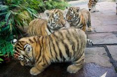 LOOK HOW CHUBBY THE BABY TIGERS ARE Animal Life (@AnimaILife) | Twitter