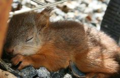 sleepy baby squirrel