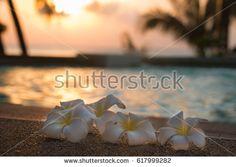 Flowers frangipani and tropical pool, Koh Phangan, Thailand.