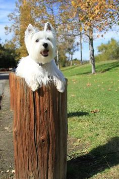 He looks like Winston! Animals And Pets, Cute Animals, Silly Dogs, West Highland Terrier, White Terrier, White Dogs, Scottie Dog, Family Dogs, Westies