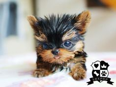 Too Cute!!! Teacup Yorkie