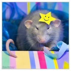Aegir 14 - Fancy rat by *DianePhotos (deviantart)