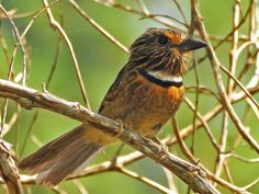Crescent-chested Puffbird. It is endemic to Brazil.