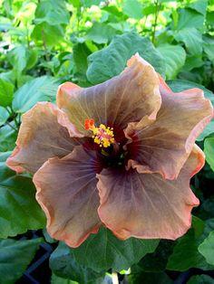 Fuchsia- en Kuipplantenkwekerij Gommer
