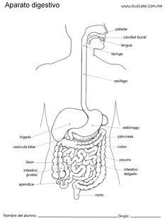 esquemas-aparato-digestivo-con-nombres_0002.jpg (1524×2000)