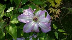 Clematis Serafina - huge flowers, mauve with white stripes. Planted this year so still very young, but already had 10 blooms! Photo: Dagmara Walkowicz