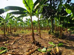 Plantain trees are commonly used to give shade to the coffee plants. These plants produce higher quality coffee when given adequate shade. Other trees used include avocado trees, mandarin trees and lime trees.