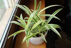 Ayuda a purificar el aire:Cinta o mala madre (Chlorophytum comosum), Potus o Pothos (Epipremnum aureum), Dracaena marginata