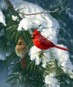 Cardinals by Jim Hautman--One of my very favorite Christmas scenes. Pretty Birds, Love Birds, Beautiful Birds, Beautiful Live, Cardinal Birds, All Nature, Bird Pictures, Winter Pictures, Colorful Birds