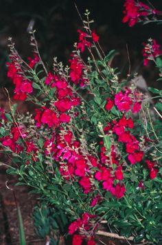 sun to part sun - Salvia greggii 'Dark Dancer' (Dark Dancer Texas Sage) Rock Garden Plants, Cottage Garden Plants, Pink Garden, Garden Oasis, Dream Garden, Texas Landscaping, Landscaping Plants, Hummingbird Flowers, Butterfly Plants
