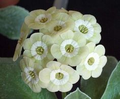 "Auricula Primrose 'Limelight'. Primula auricula. 6-8"" tall. Blooms in April."