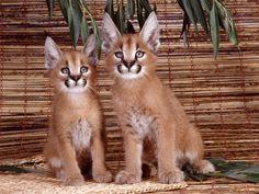 Wallpaper de deux bébés pumas assis