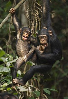 """"""", even though they look like fighting but they love each other for sure ! they never kill each other :) Western chimpanzees, Bossou Forest, Mont Nimba, Guinea Orangutan Monkey, Baby Chimpanzee, Jungle Animals, Cute Baby Animals, Funny Animals, Beautiful Creatures, Animals Beautiful, Los Primates, Cute Monkey"""