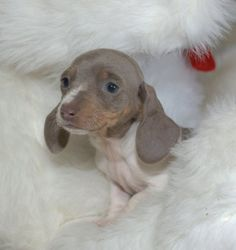 daschund puppies - Google Search