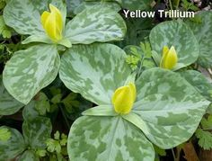 A beautiful spring bloomer, the Yellow Trillium found in the Smoky Mountains.