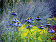 Love in a mist, Nigella damascena backed by the silvery blue of Festuca glauca -