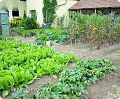 Helpful tips for building your own herb garden. I'VE DONE BOTH & RAISED BEDS ARE THE ONLY WAY TO GO. FAR LESS SEED & WATER USED. COVER THEM w/SCREEN and/or PLASTIC & YOU'VE GOT YOUR OWN GREENHOUSE. http://www.naturalnews.com/045015_helpful_tips_herbs_home_garden.html