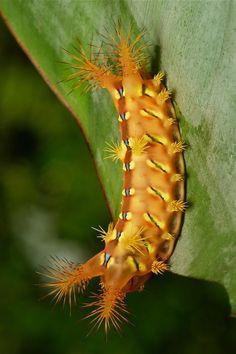 Stinging Nettle Slug Caterpillar (Cup Moth, Setora sp., Limacodidae)